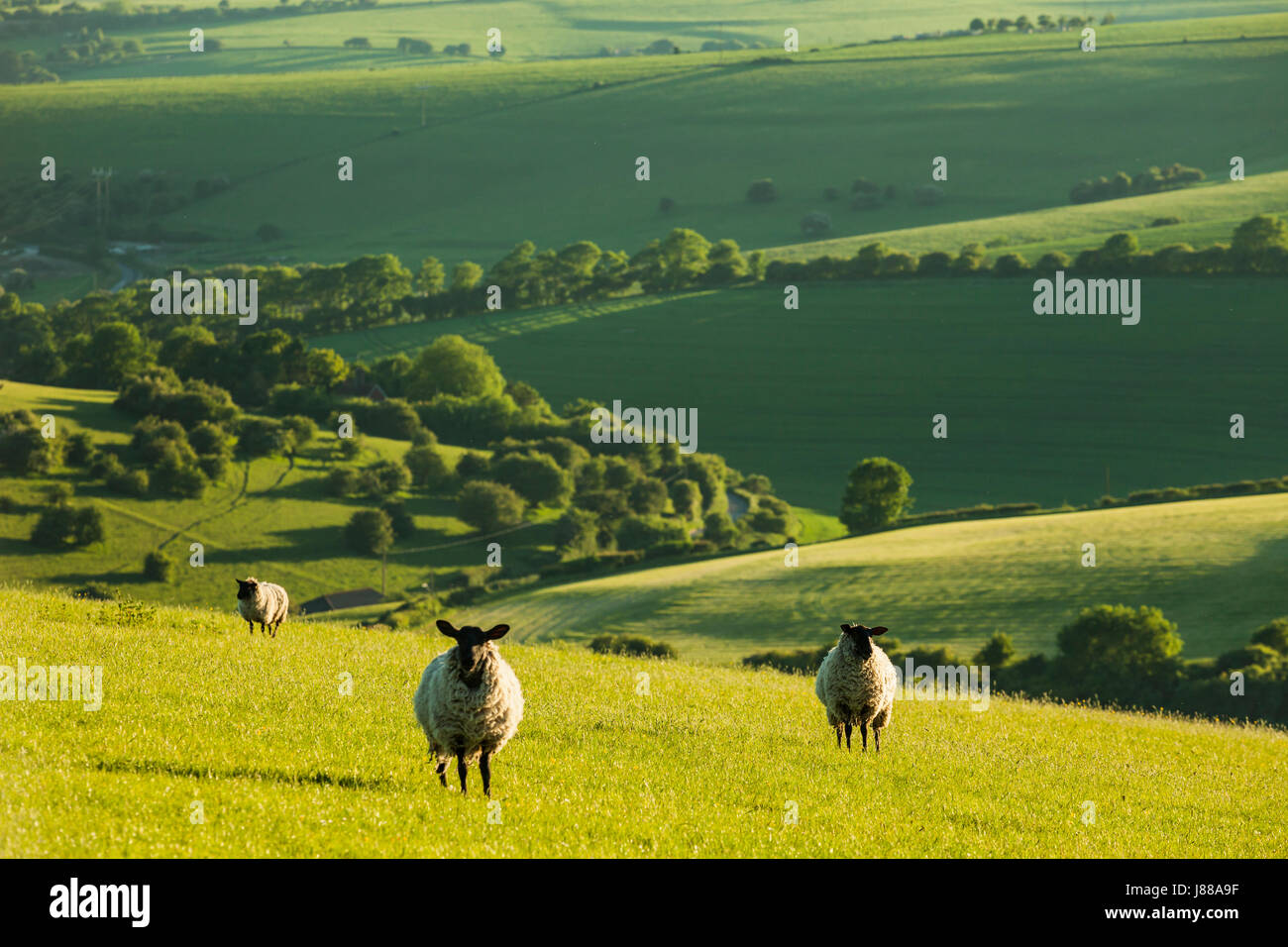 Sheep grazing in South Downs National Park on a spring afternoon, East Sussex, England. Stock Photo
