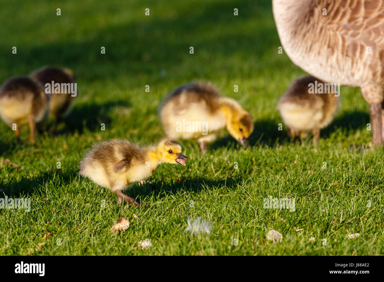 Canada Goose (branta canadensis) gosling yelling about something - Stock Image
