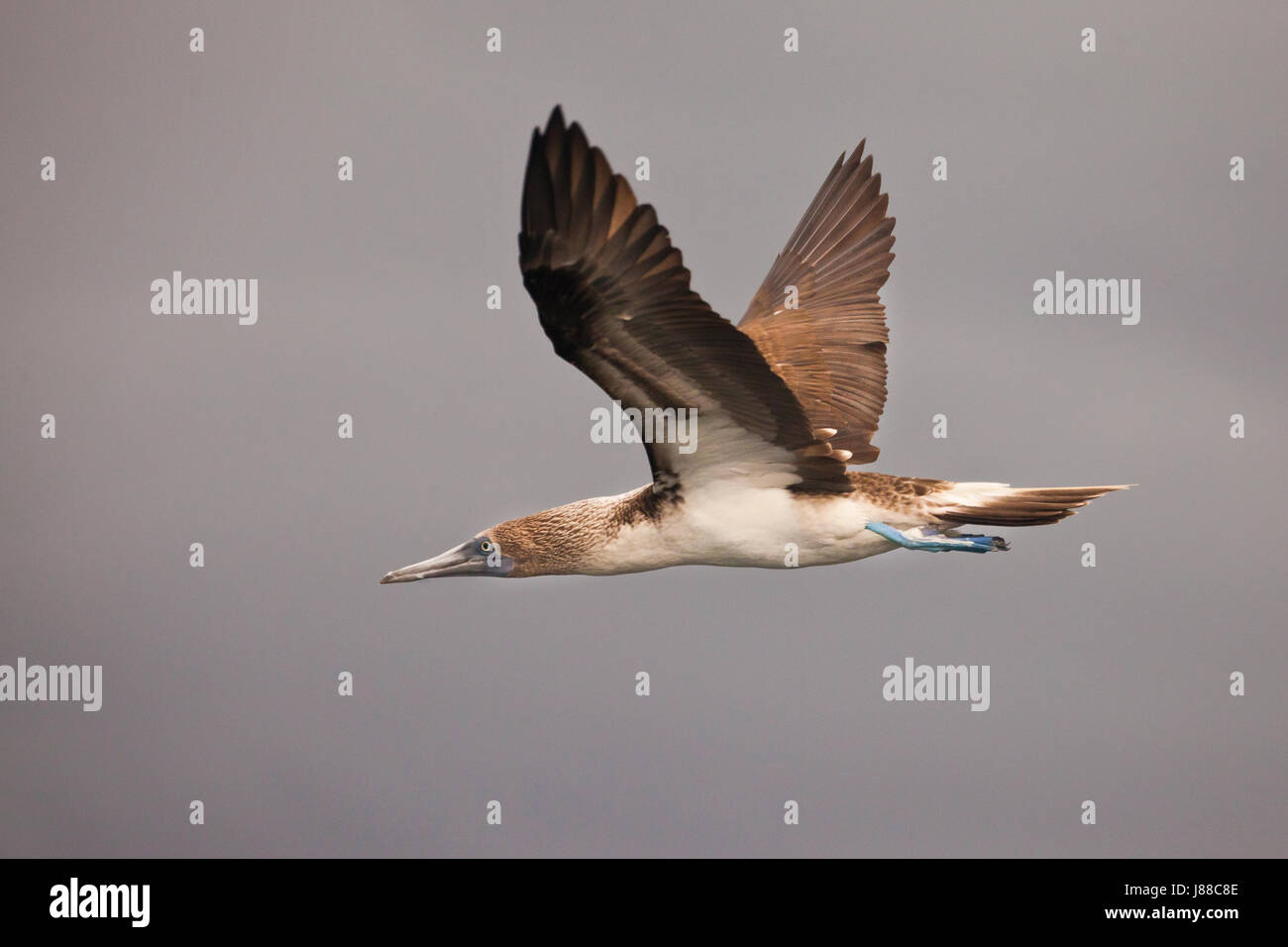 Blue-footed Booby in flight at the coast of Isla de Coiba national park, Pacific coast, Veraguas province, Republic Stock Photo