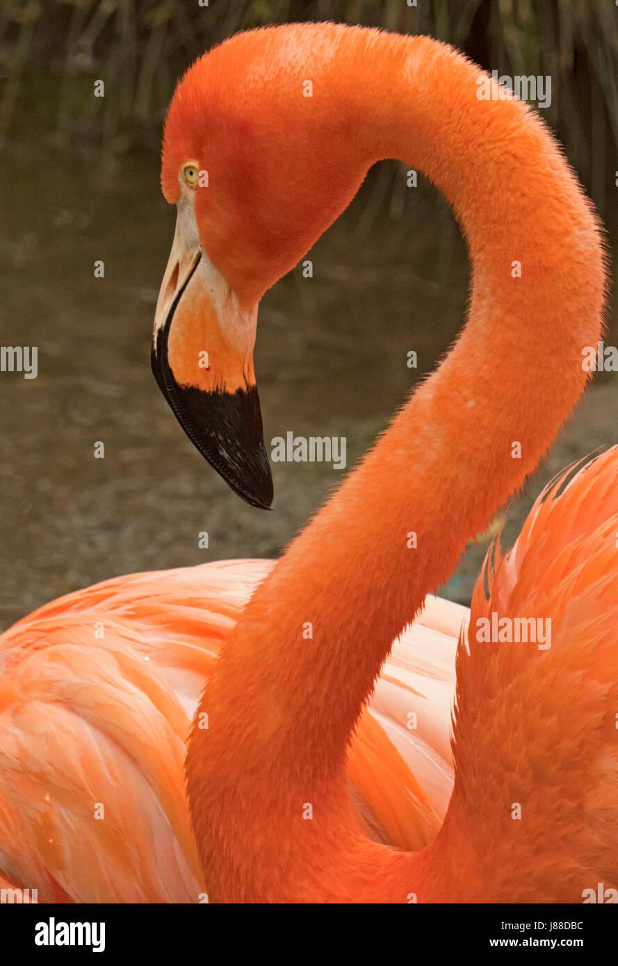 American Flamingo at Sacramento Zoo, California, USA. - Stock Image