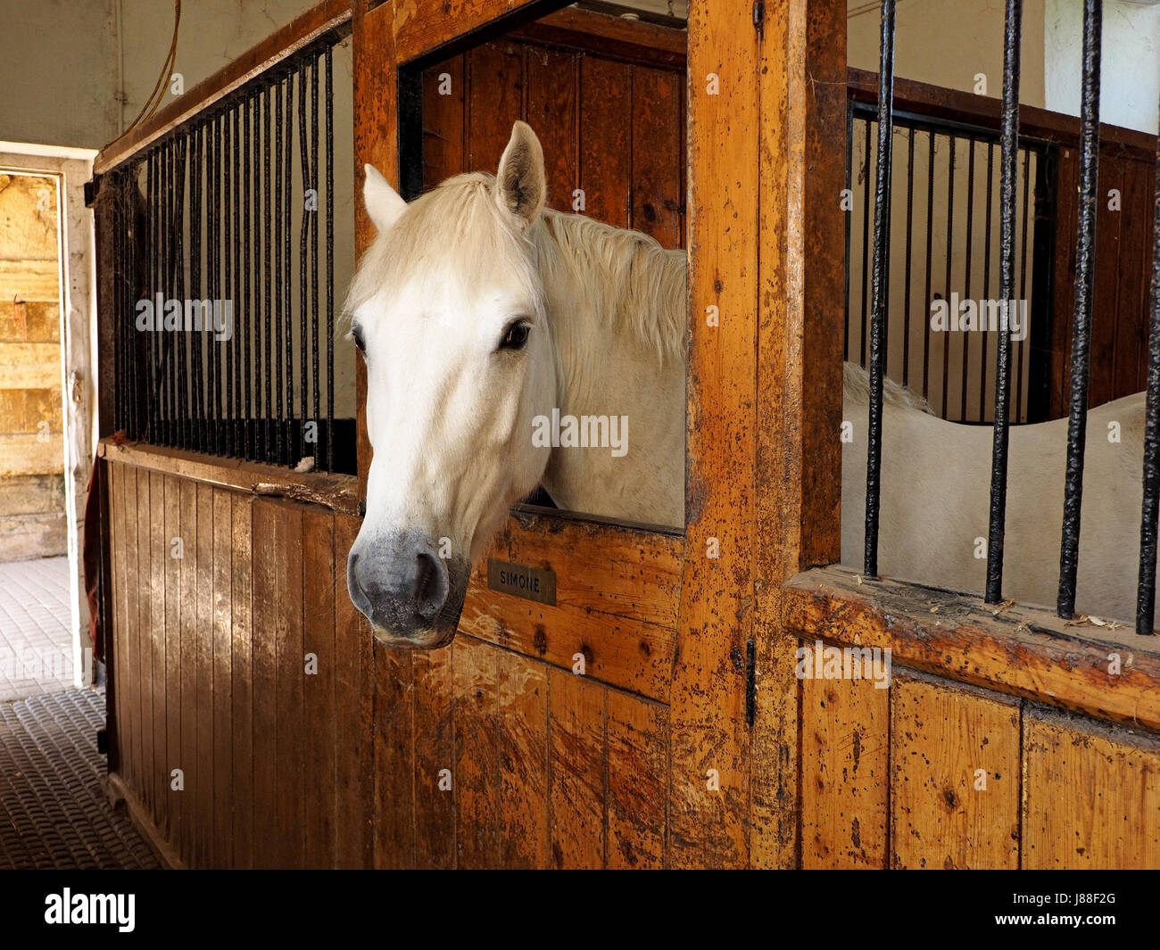 Handsome White Horse Looking At Camera In Old Wooden Horse Stables Stock Photo Alamy
