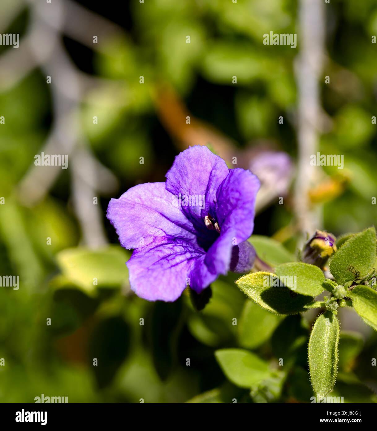 Purple Desert Flower Stock Photos Purple Desert Flower Stock