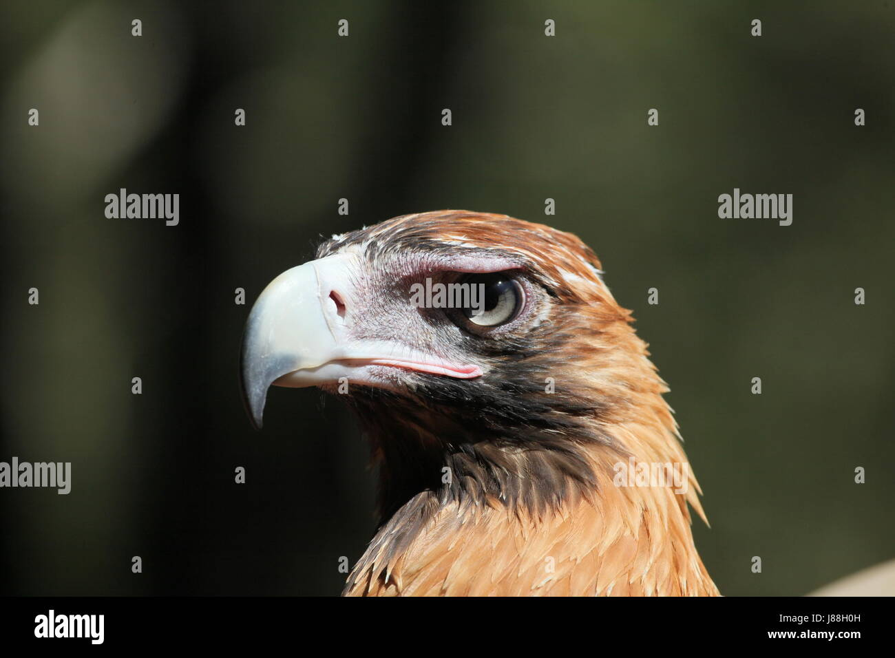 wedge, eagle, berry, portrait, keilschwanzadler, tailed, australien, Stock Photo
