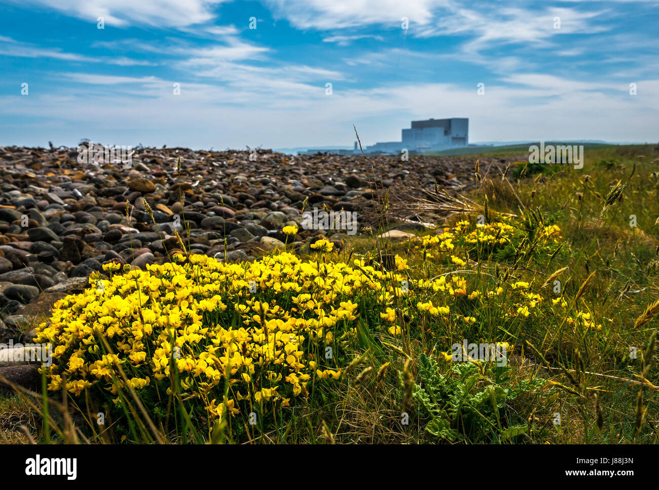 Ground level view bird's foot trefoil, Lotus corniculatus, John Muir Way coastal path, with Torness Nuclear - Stock Image