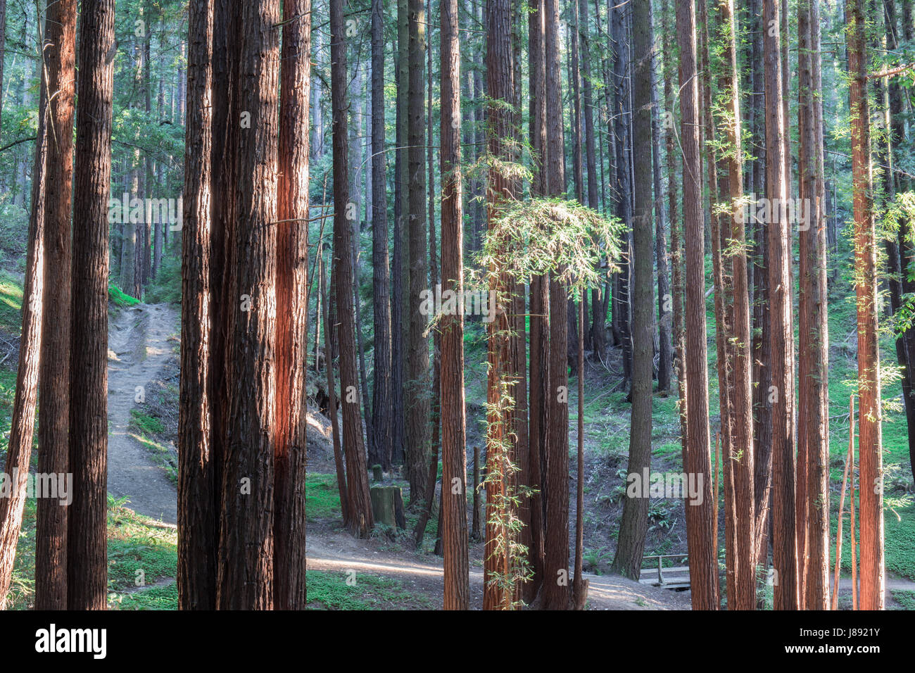 Sunset Lights on Redwood Trees. - Stock Image