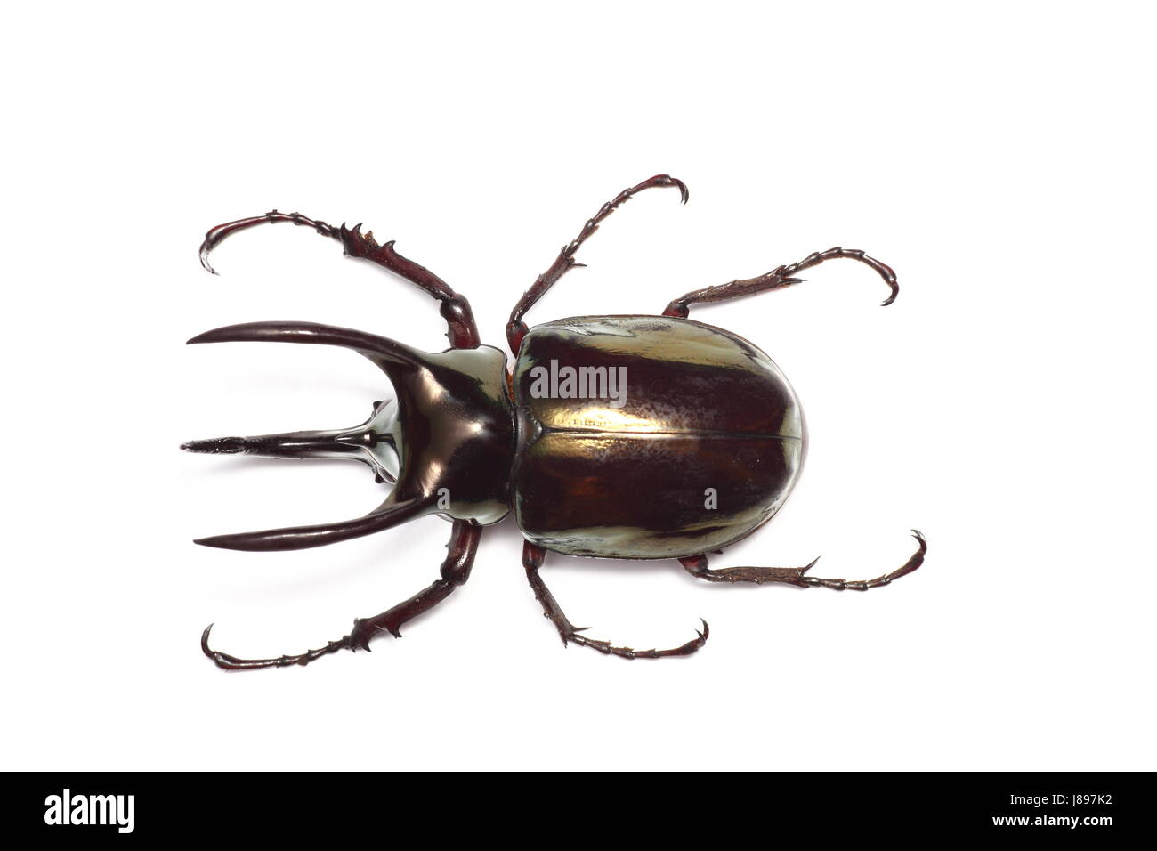 insect, brown, brownish, brunette, asia, horn, beetle, wildlife, atlas, map of - Stock Image