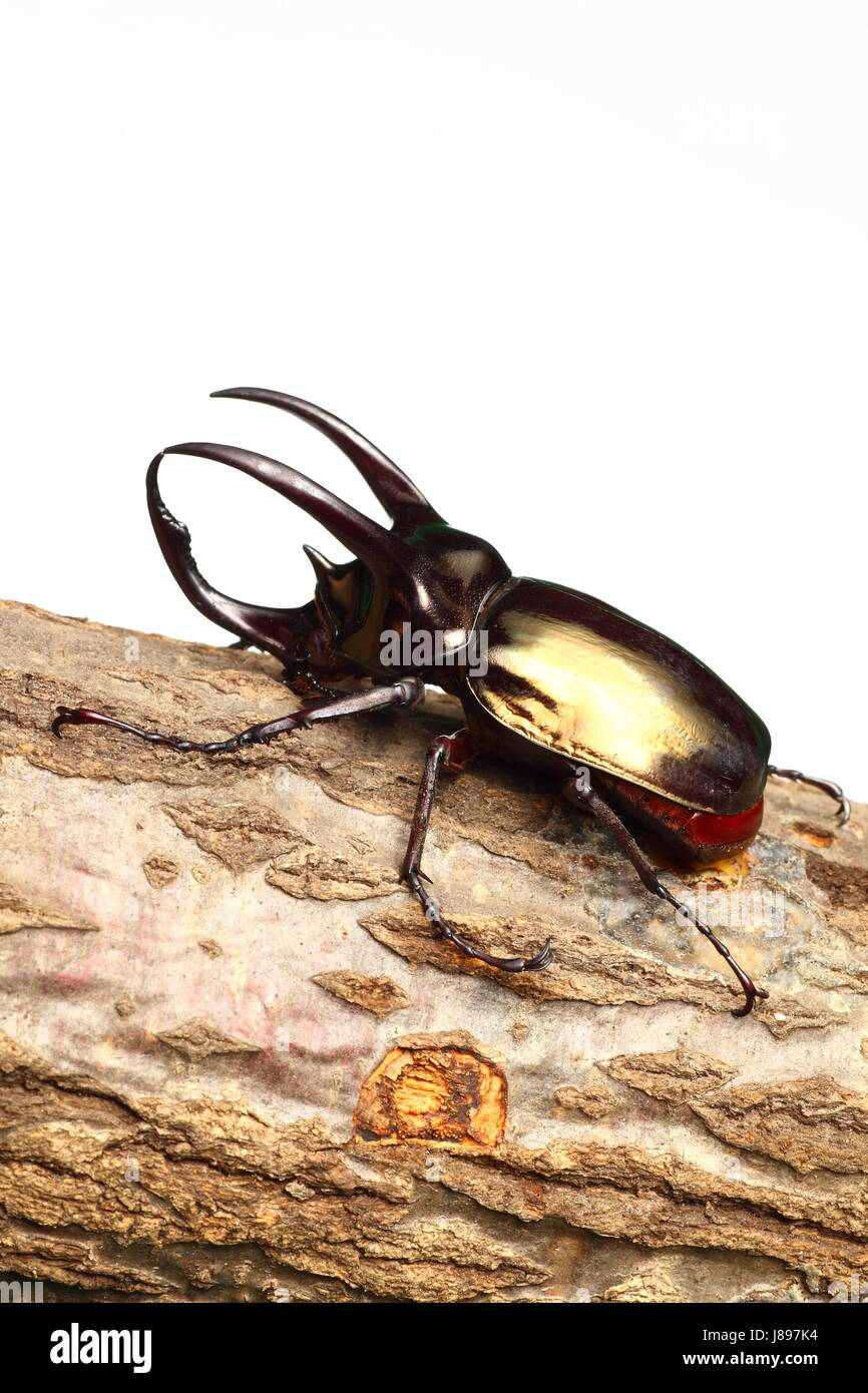 insect, asia, horn, beetle, wildlife, asian, atlas, map of the world, map, - Stock Image