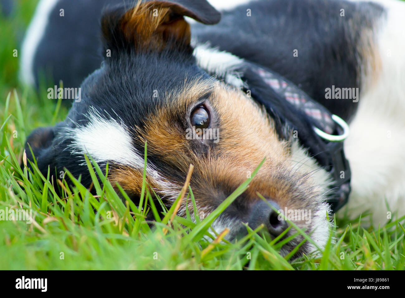A Jack Russell Terrier looks up from the grass - Mans best friend - Stock Image