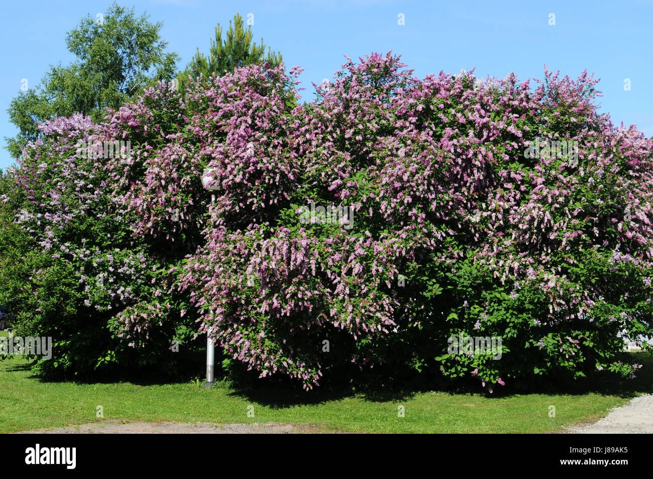 lilac / lilac - Stock Image