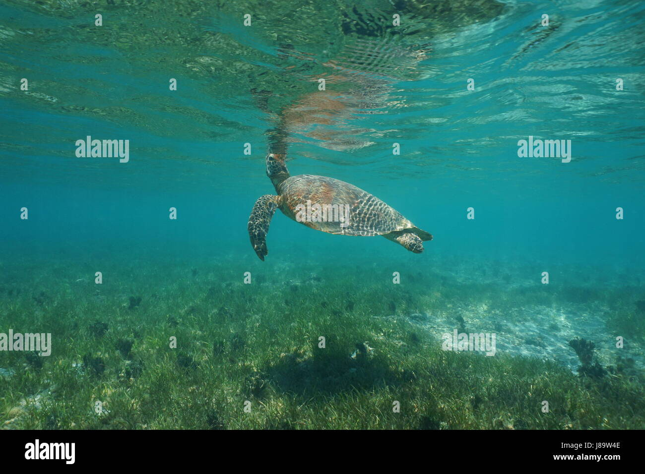 Underwater a green sea turtle, Chelonia mydas, breathes to the sea surface, south Pacific ocean, lagoon of Grande - Stock Image