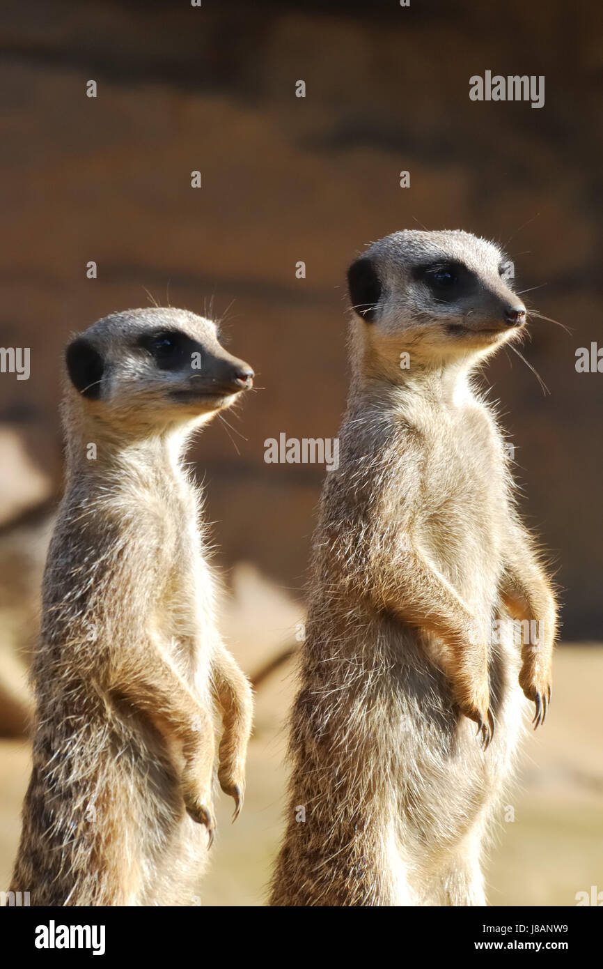 duty, claws, maddening, pert, coquettish, cute, meerkat, meerkats, watching, - Stock Image