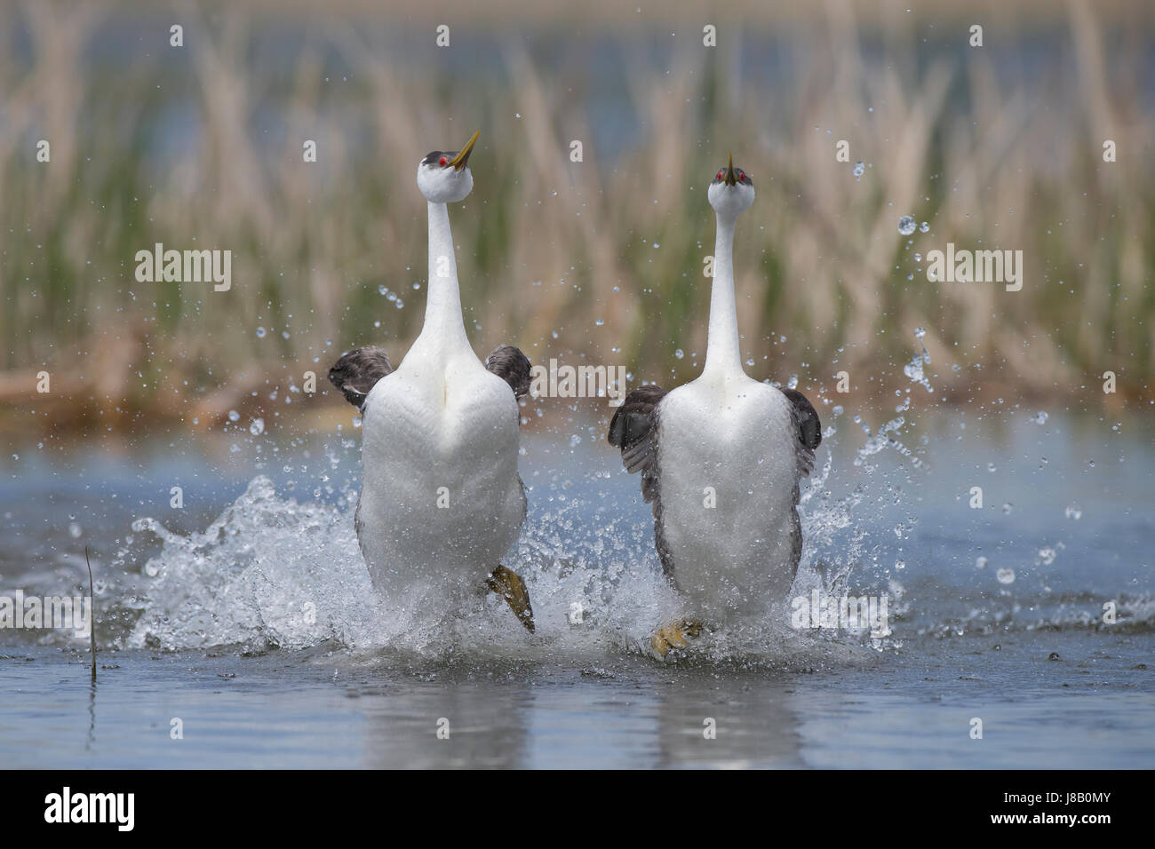 Western grebe courtship rushing - Stock Image