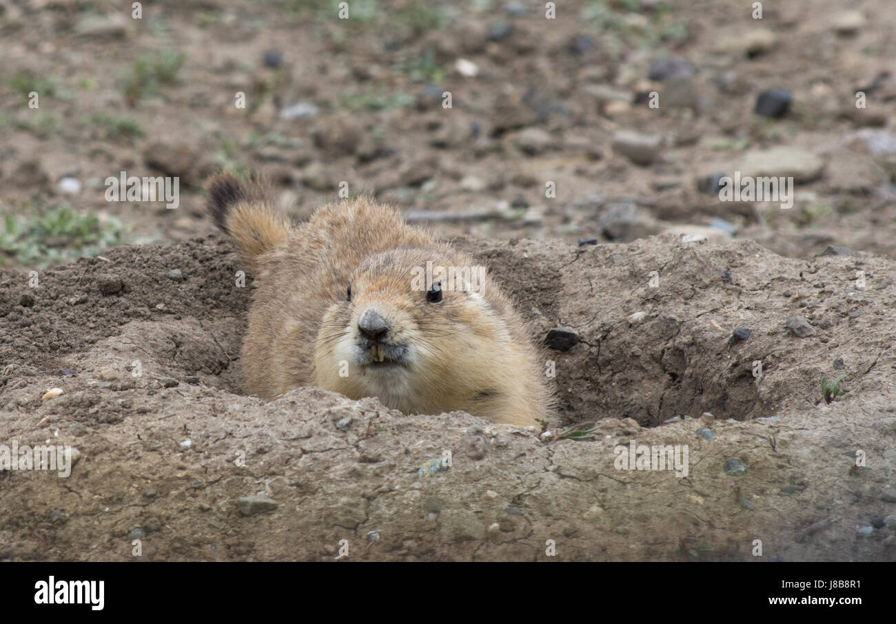 Close up of Black Tailed Prairie Dog in burrow with long, yellowed incisors. Photographed in Prairie Dog Town, Montana - Stock Image