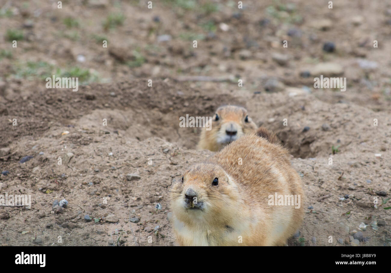 Close up of Black Tailed Prairie Dog in burrow with long, yellowed incisors. A second prairie dog is in the burrow. - Stock Image