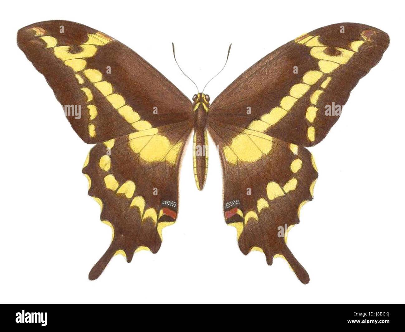 Male Papilio aristodemus - Stock Image