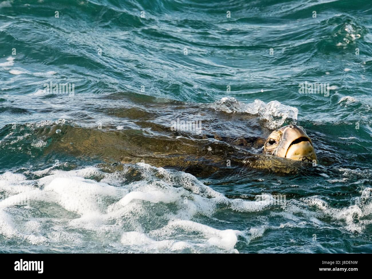 A Green Sea Turtle swimming of the coast of Maui, Hawaii - Stock Image