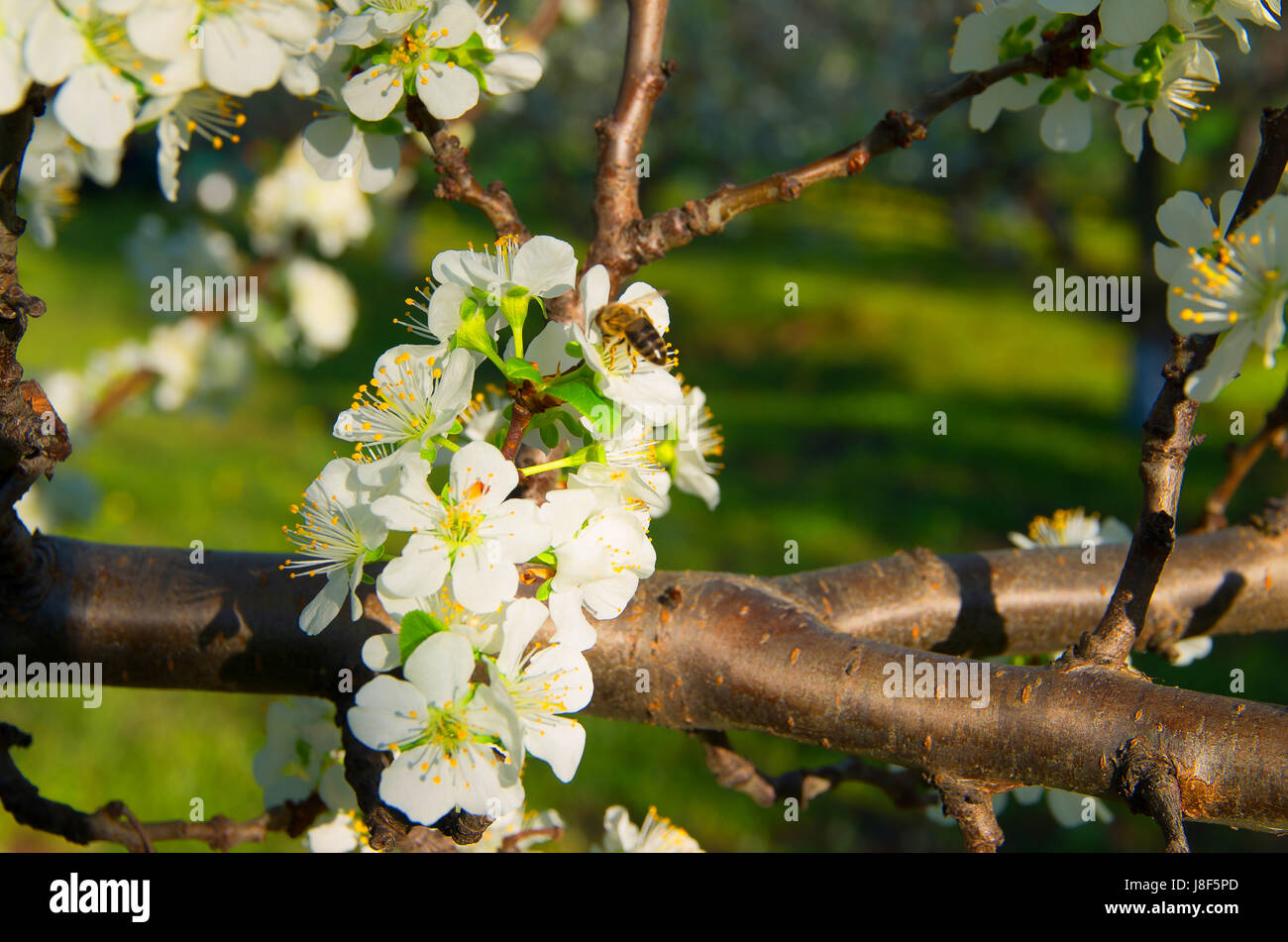 Pollination of flowering trees. Stock Photo