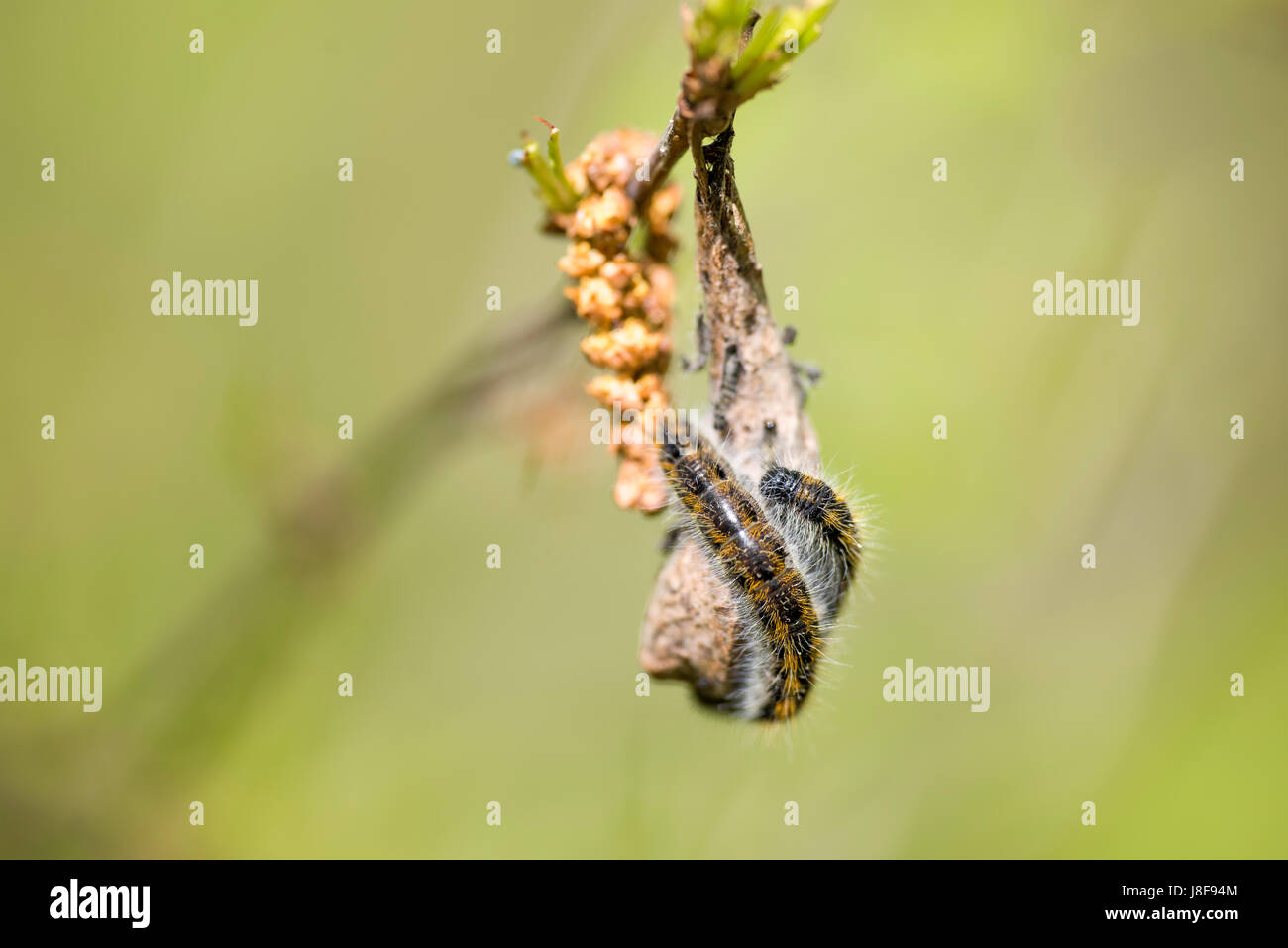 Two individuals of hawthorn caterpillar on dry leaf - Stock Image