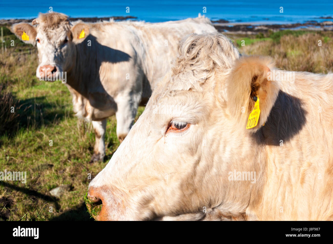 Beef cattle livestock on a farm in County Donegal, Ireland - Stock Image