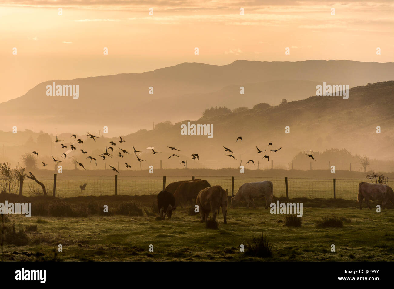 Beef cattle livestock on a farm in County Donegal, Ireland at dawn sunrise morning. - Stock Image