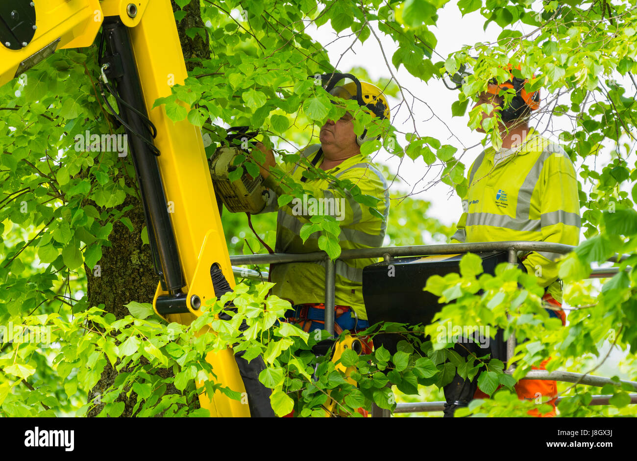 Tree surgeons trimming trees in late Spring. - Stock Image