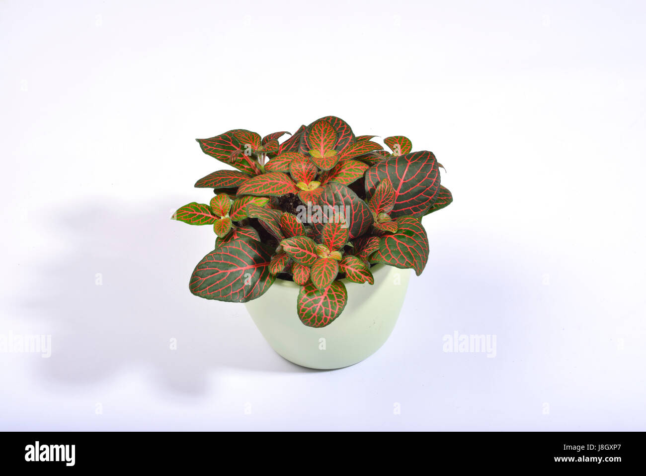 A potted fittonia with red veined dark green leaves on a clear white background. - Stock Image