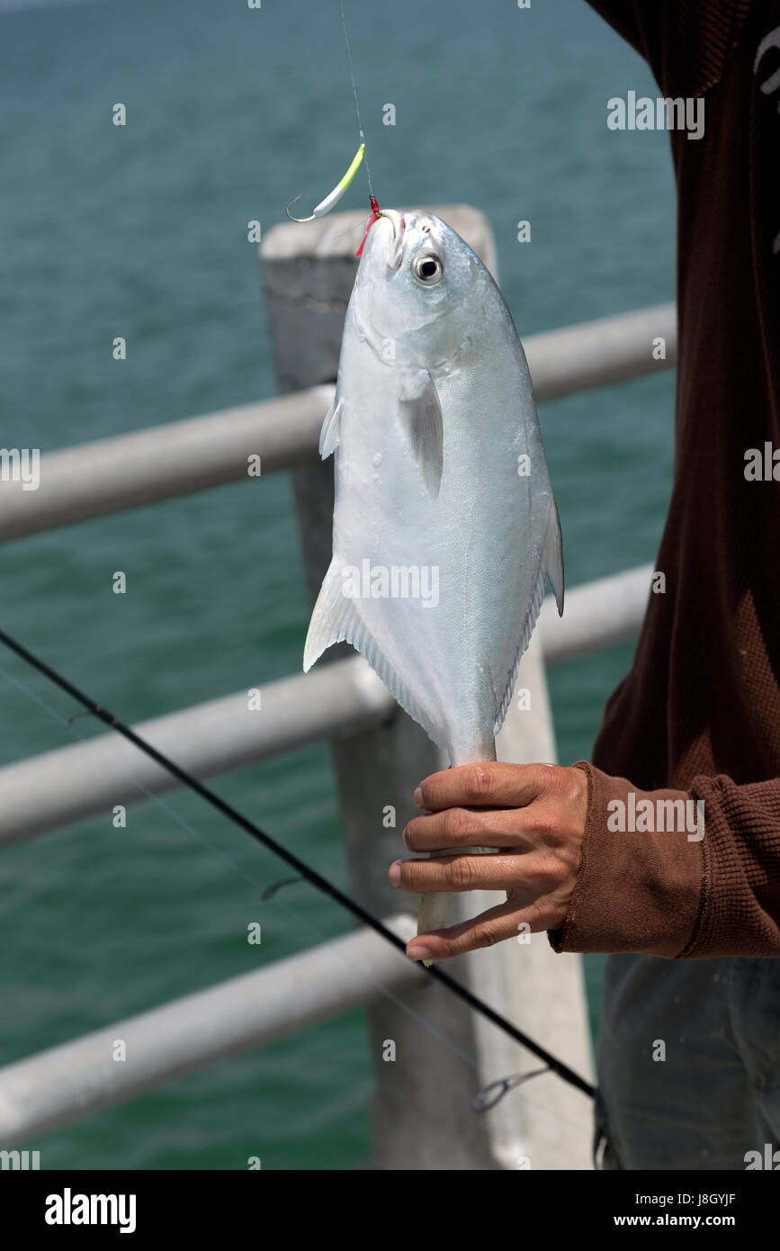 A Florida Pompano fish on an anglers line having been caught from a pier on the Gulf of Mexico Florida USA - Stock Image