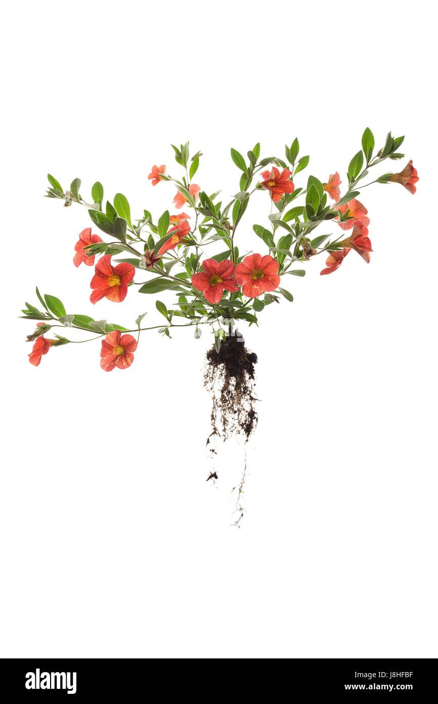 whole calibrachoa plant on isolated white background - Stock Image