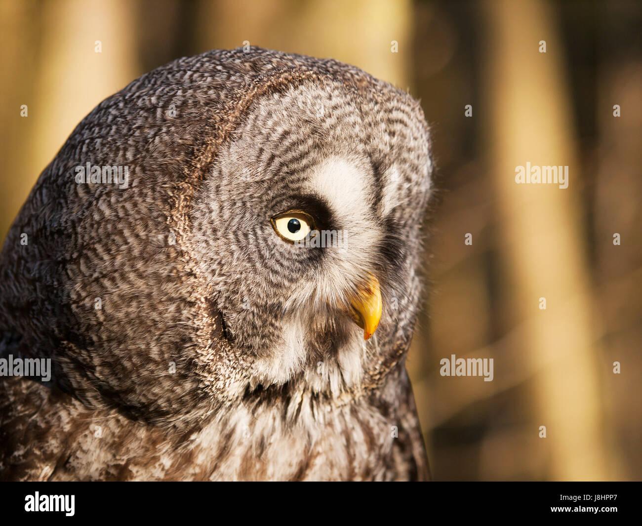 Detail of head of geat grey owl - Strix nebulosa - Stock Image
