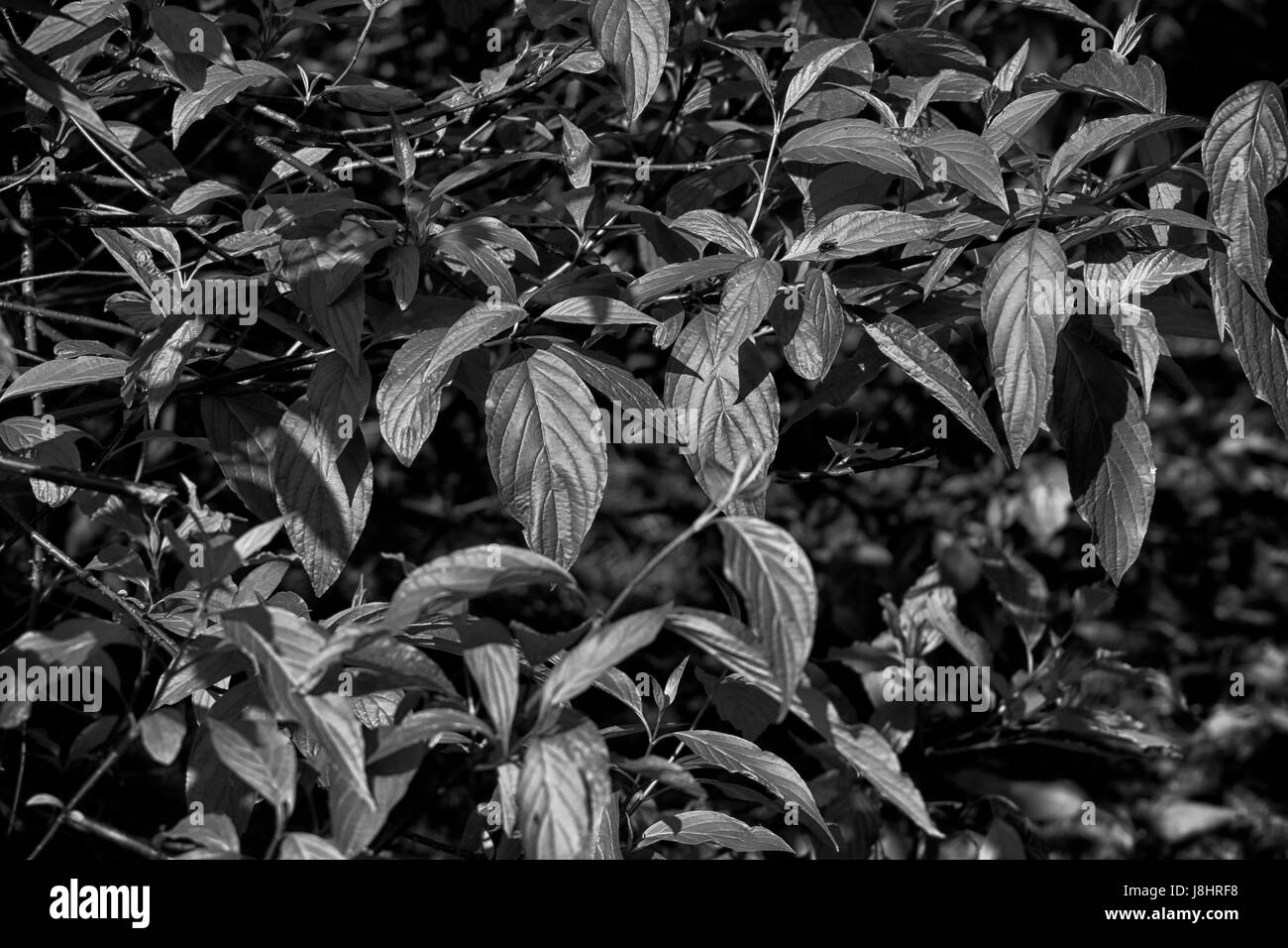 Leaves background in black and white Stock Photo