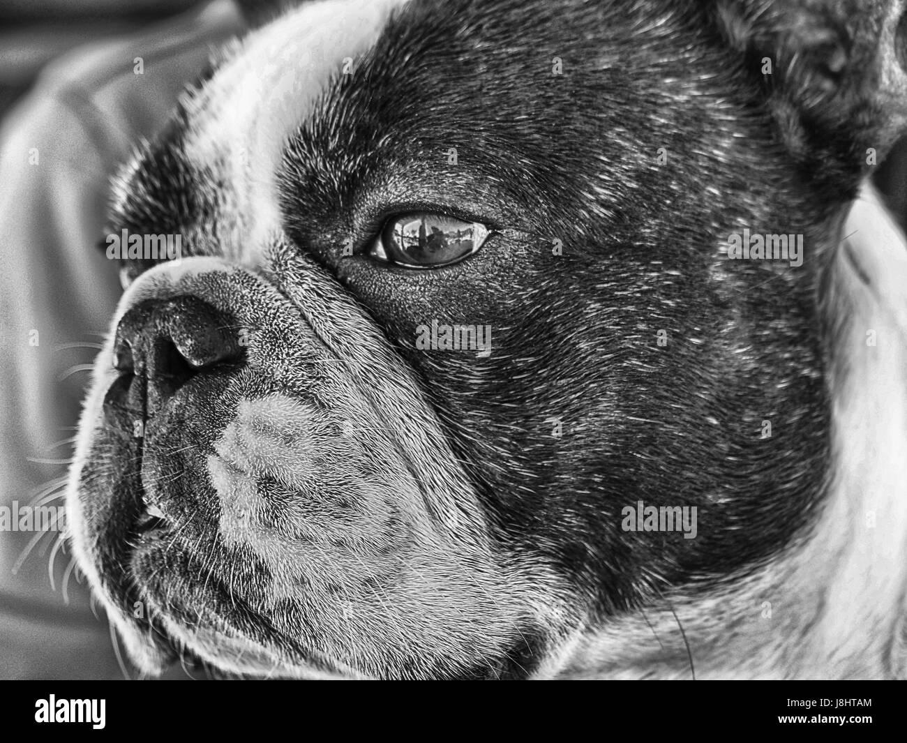 French bulldog - Stock Image