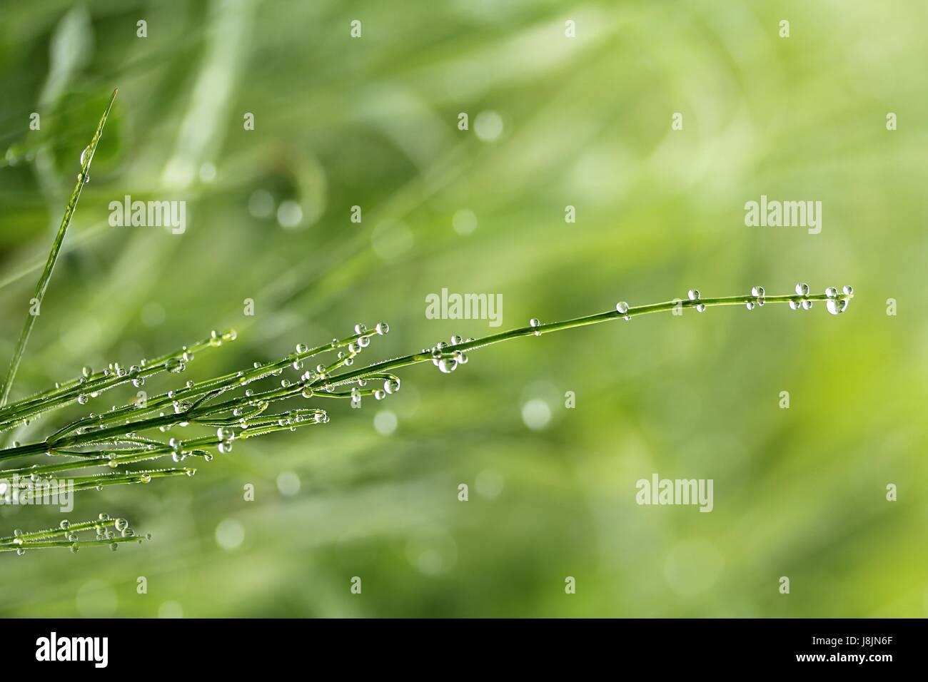 horsetail after rain Stock Photo