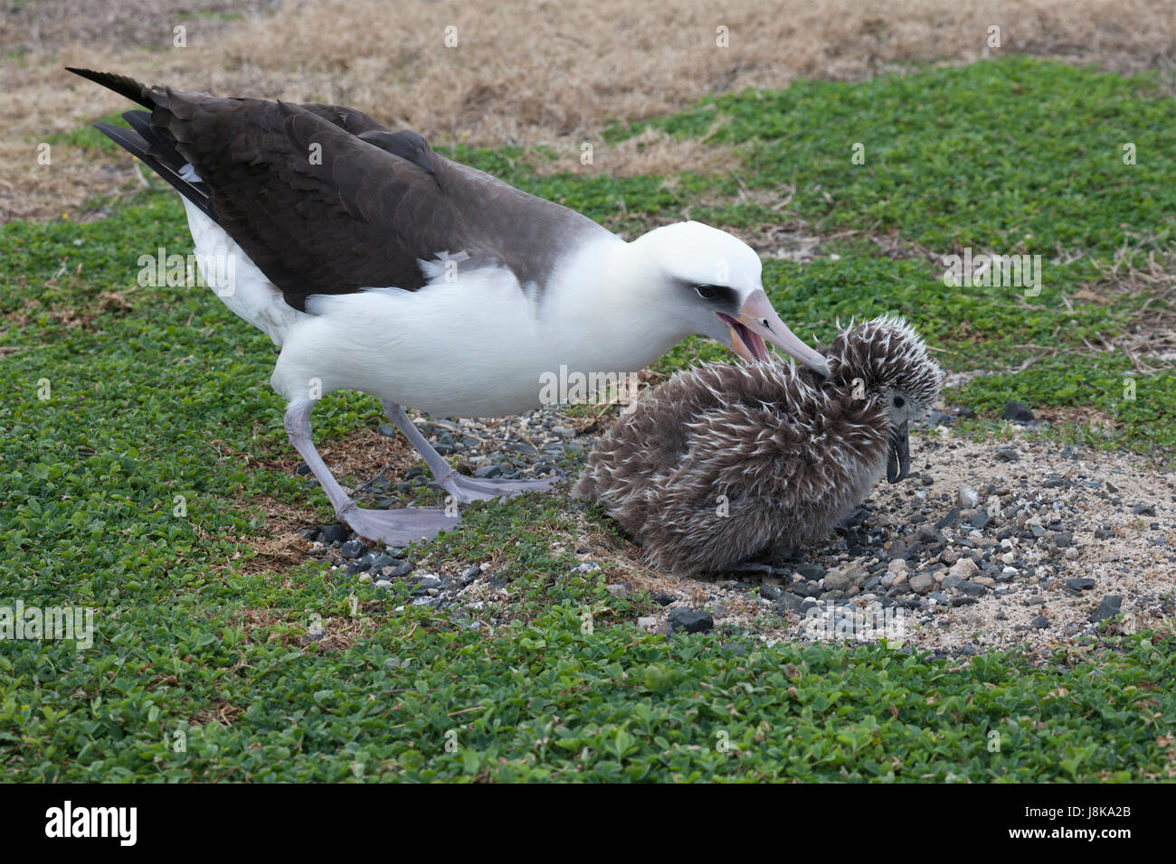Laysan Albatross attacking unattended chick which is in hunched in submissive posture on nest. The adult bird has - Stock Image