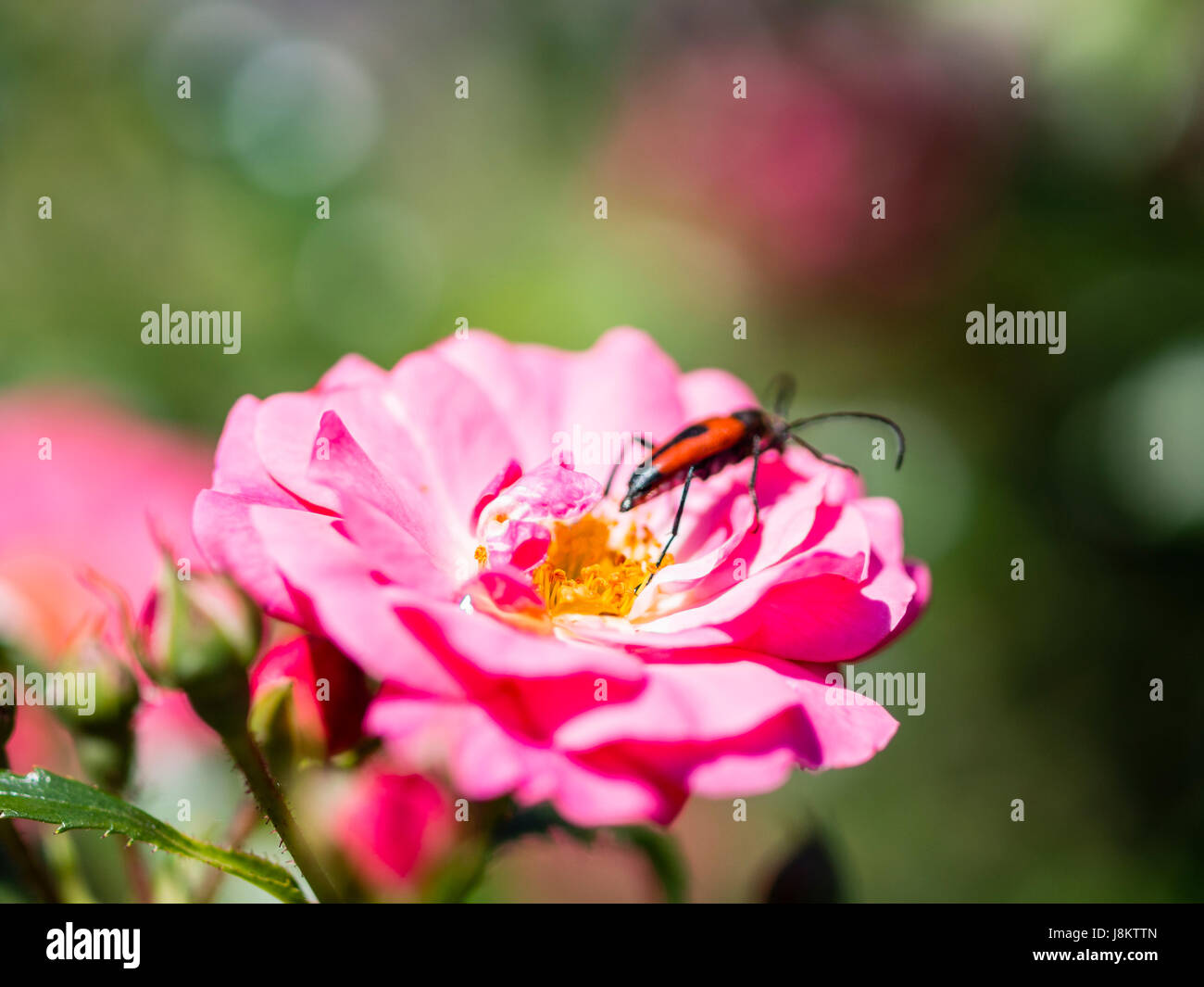 Longhorn beetle on pink fucsia flower Stock Photo