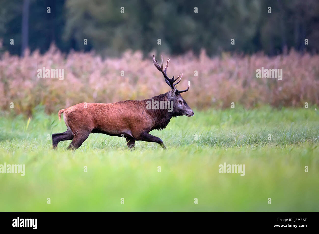 Red deer in a clearing in the wild - Stock Image