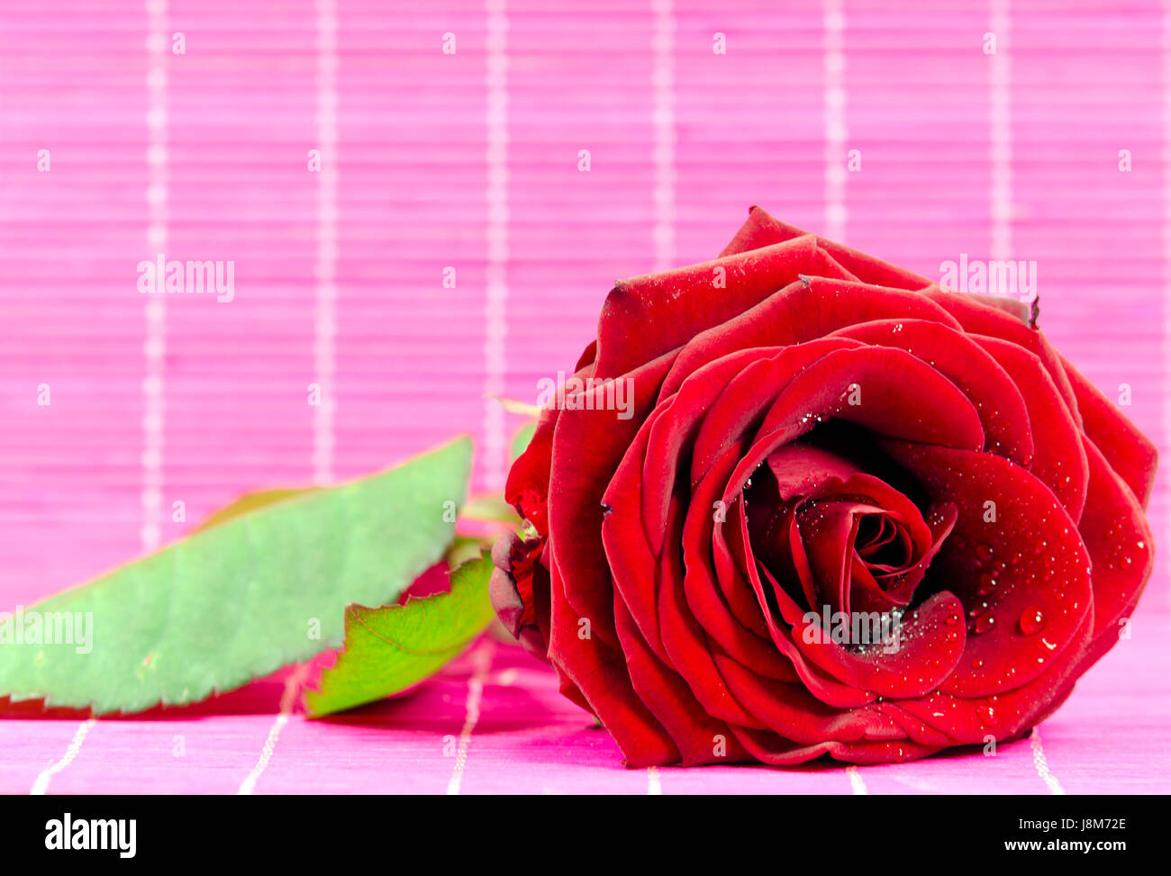 flower, plant, rose, romantic, amour, valentine, red, pink, flower, plant, - Stock Image