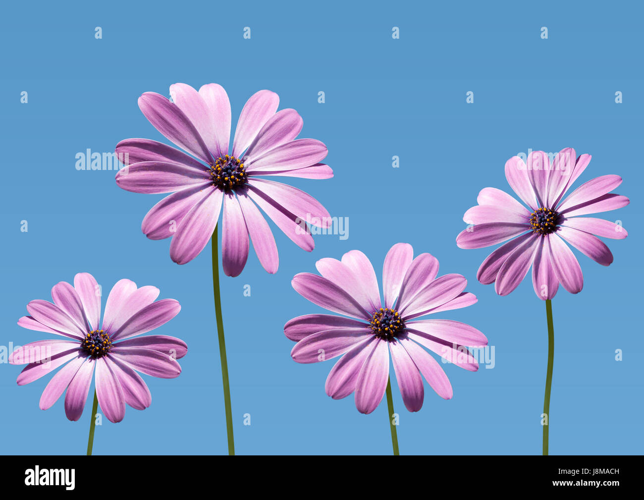 closeup of pink daisybushes, Osteospermum, with blue sky background Stock Photo