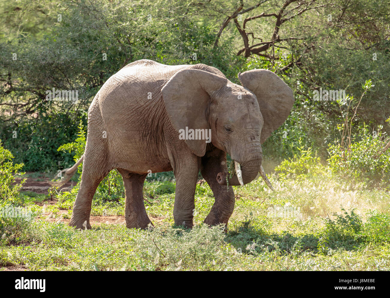 An African Elephant sub-adult using its leg to dislodge tough grass while grazing - Stock Image