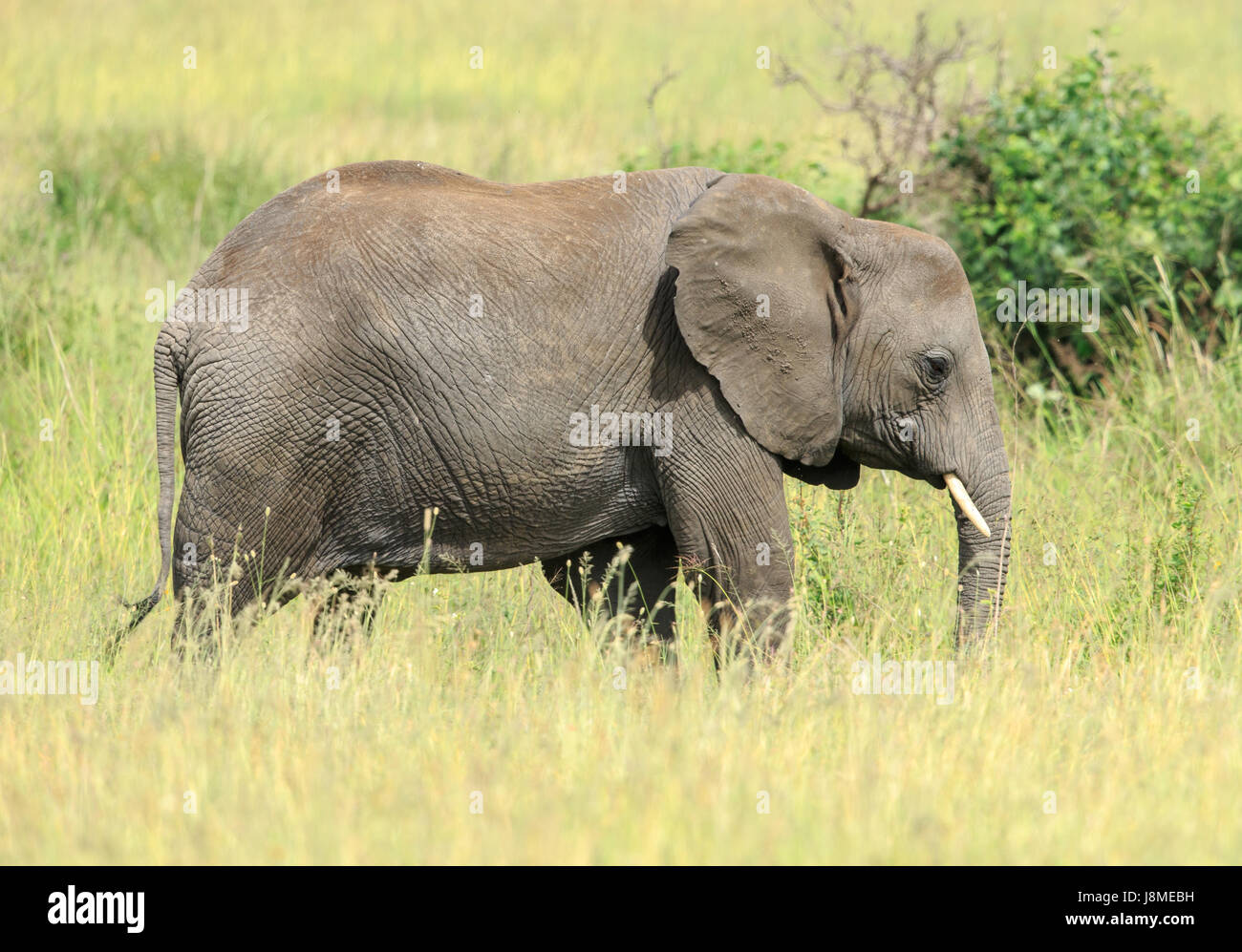 An African Elephant grazing in the tall grass - Stock Image