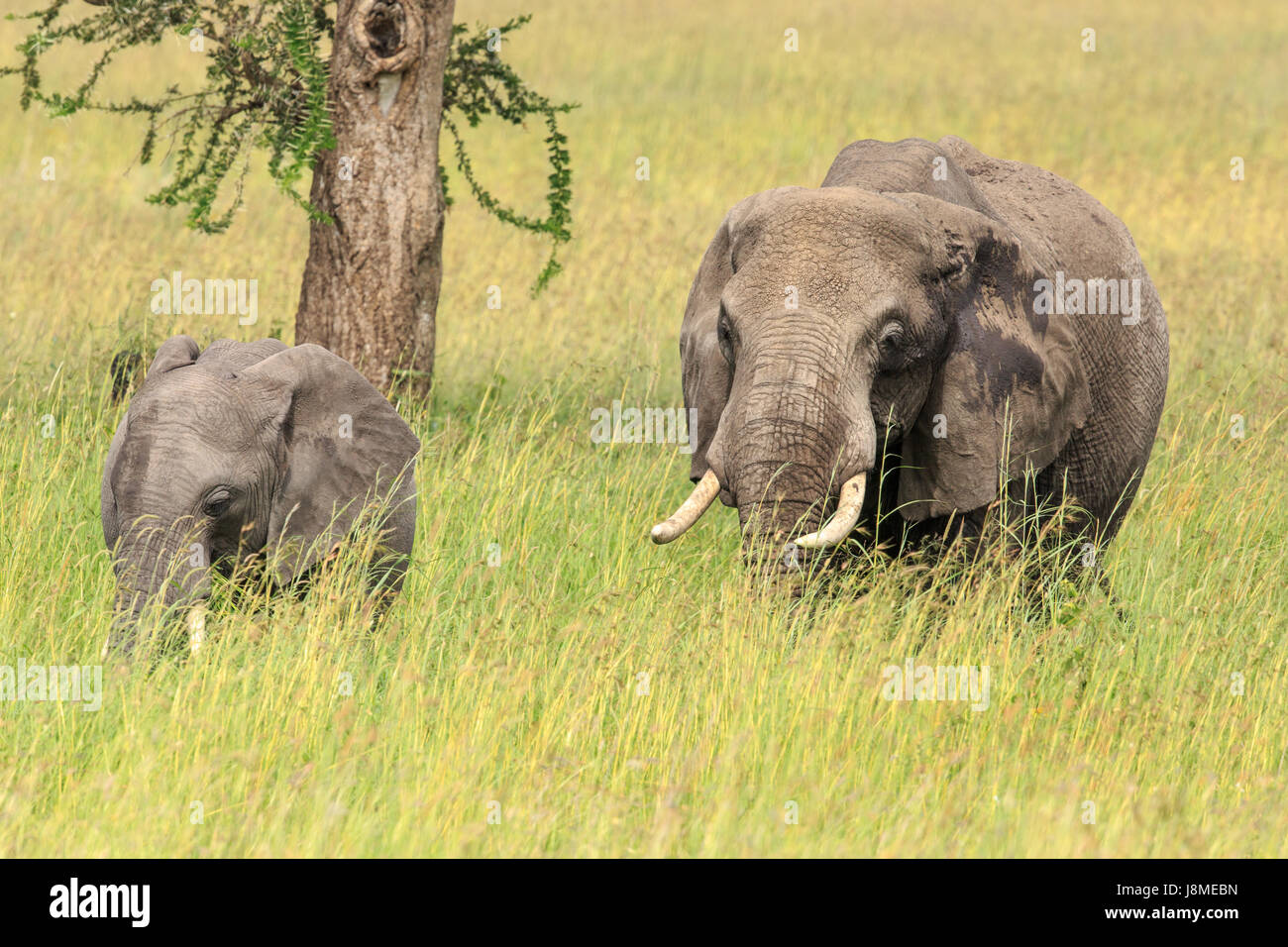 An African Elephant mother with a calf grazing - Stock Image