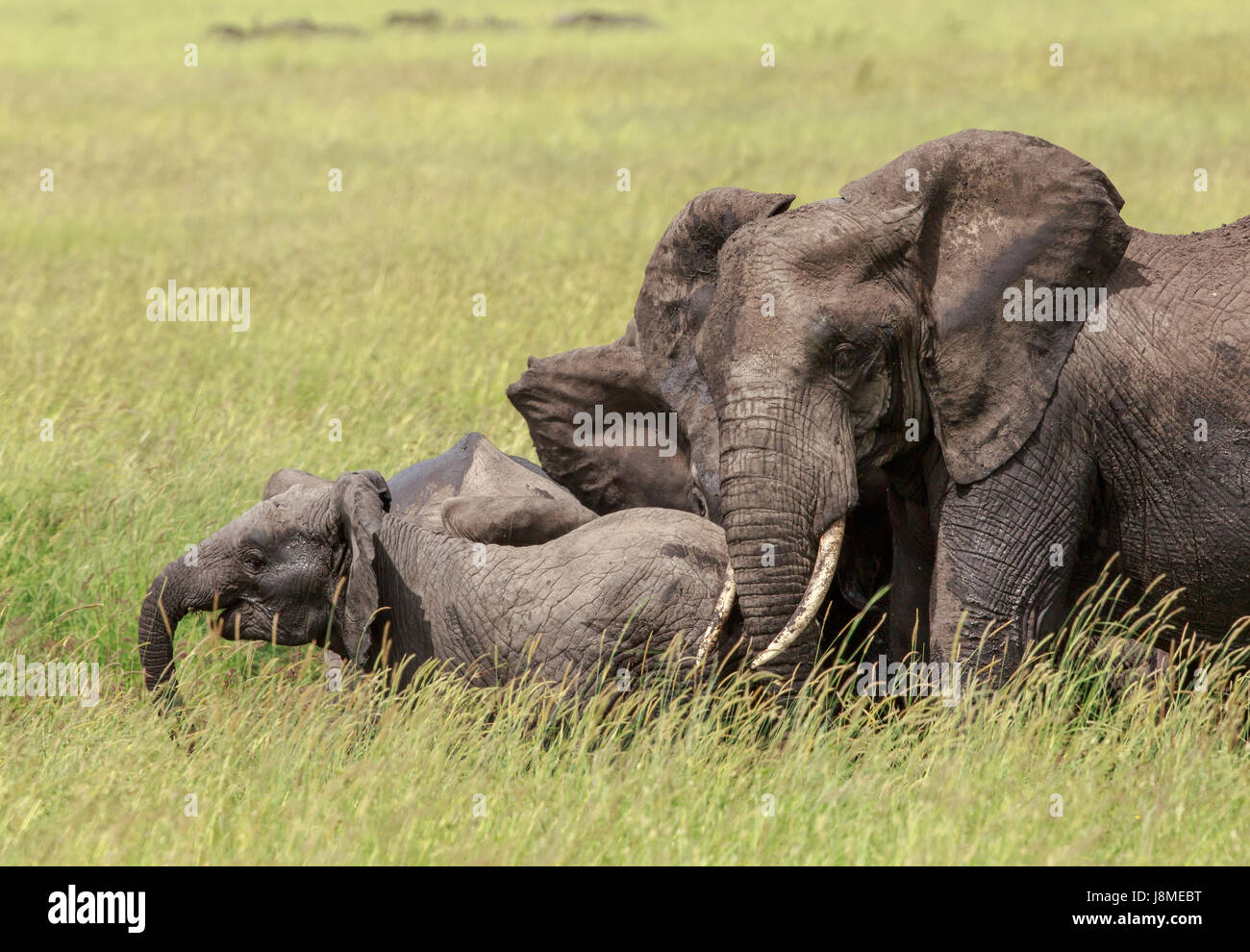 An African Elephant giving us the ears as a warning to stay away from its calf. - Stock Image