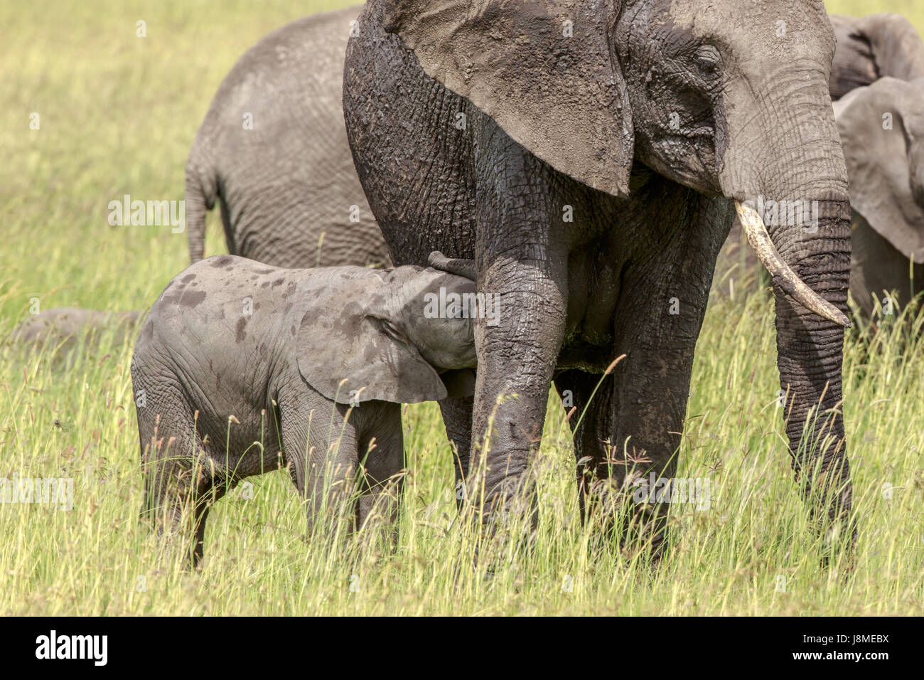 A tiny weeks old African Elephant calf feeds from its mother Stock Photo