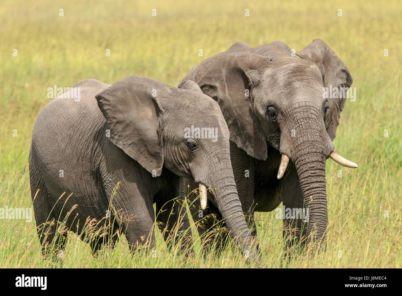 An African Elephant mother with a calf grazing Stock Photo