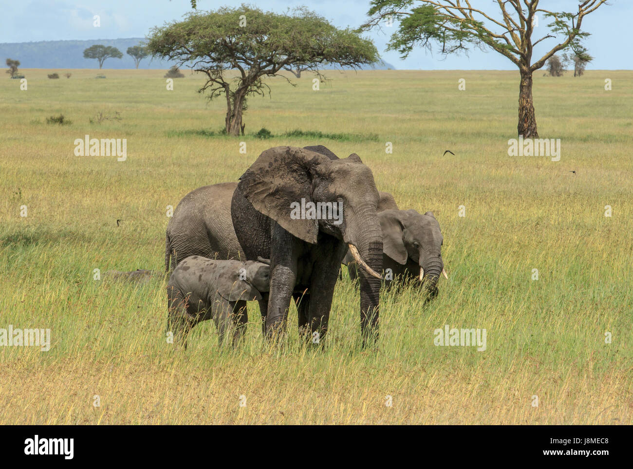 A tiny weeks old African Elephant calf feeds from its mother - Stock Image