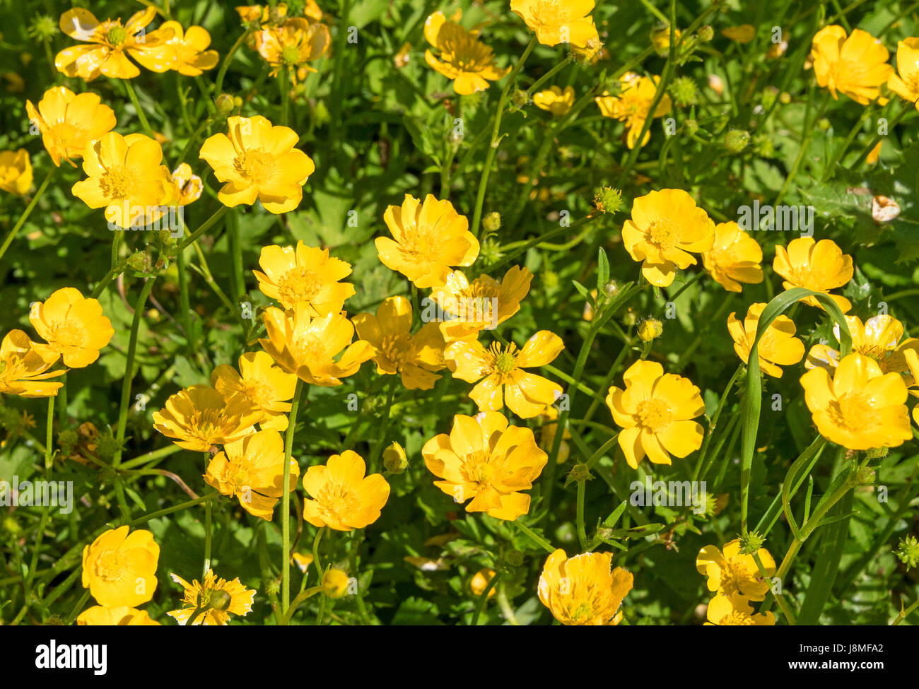 buttercups ranunculus, growing in a meadow - Stock Image