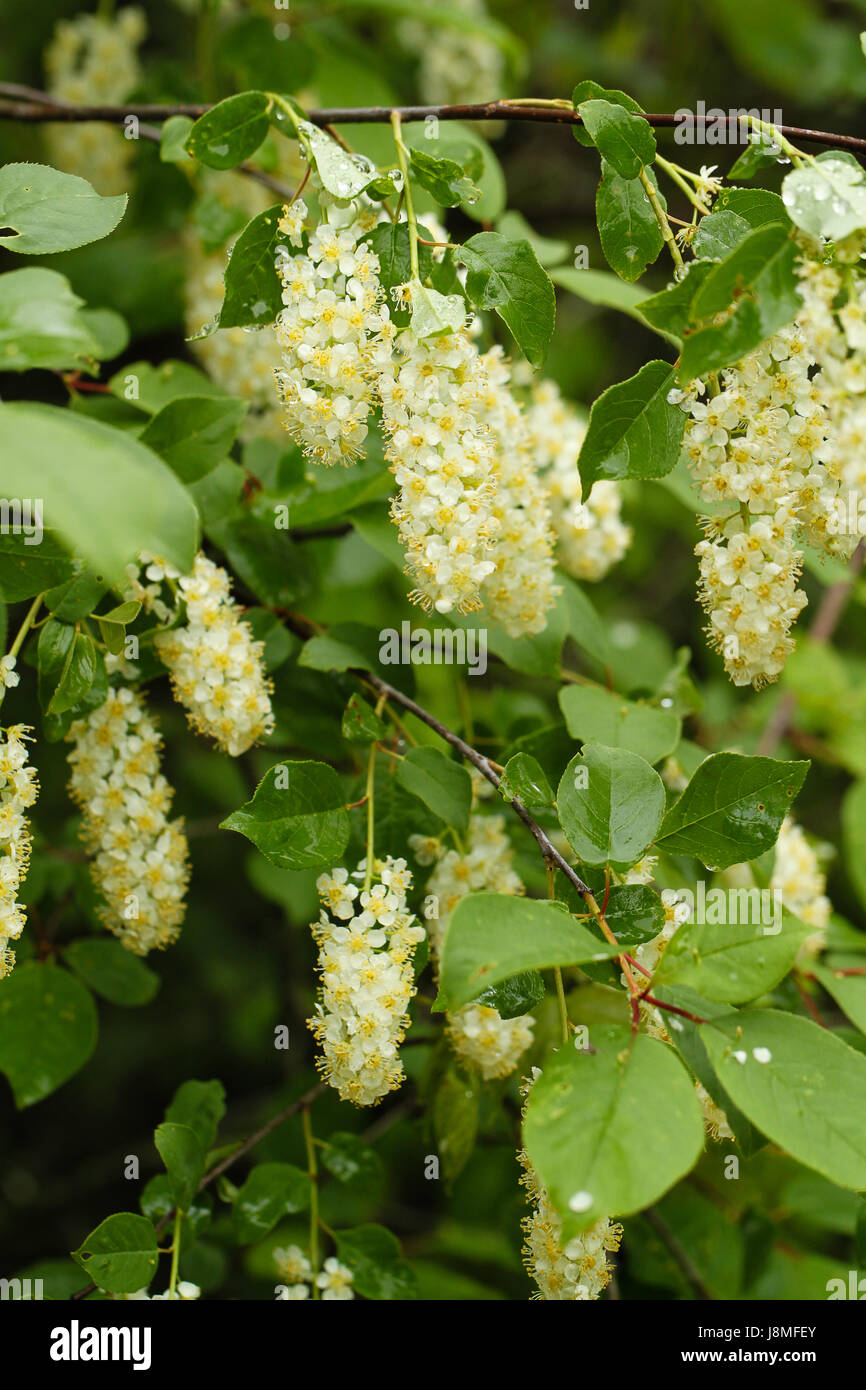 Chokecherry shrub bears masses of white flowers in long clusters shrub bears masses of white flowers in long clusters turning to small ripe cherries fruit cooked is edible leaves stems are toxic mightylinksfo