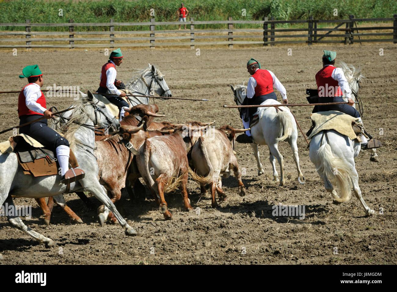 "Traditional running of wild bulls by the ""campinos"". Samora Correia, Ribatejo. Portugal Stock Photo"