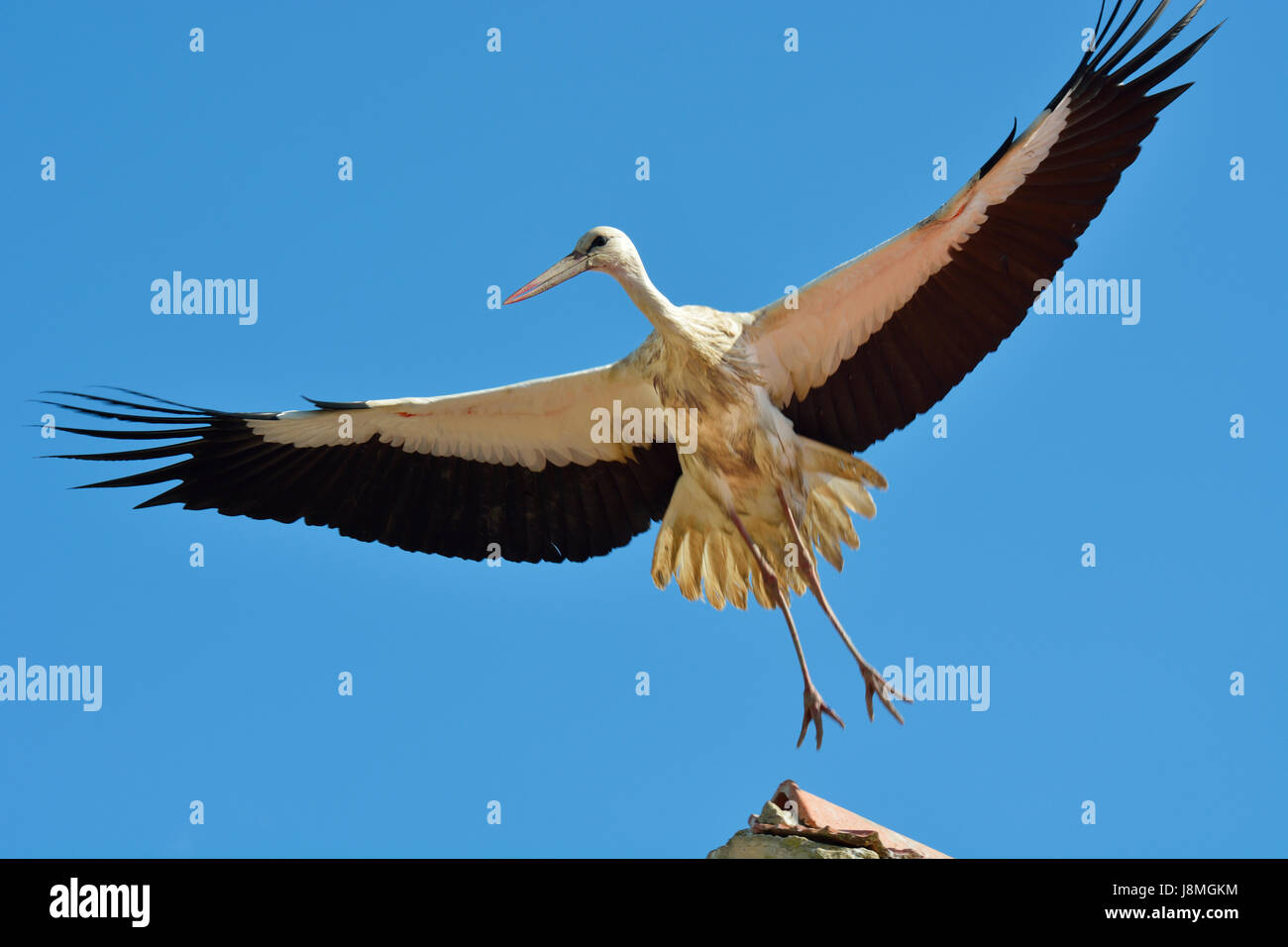 Stork (Ciconia ciconia) flying at the Sado Estuary Nature Reserve. Portugal Stock Photo
