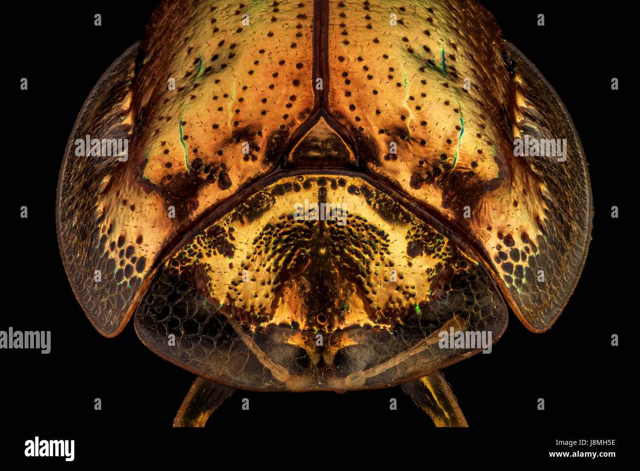 Frontal view of a golden tortoise beetle.The golden tortoise beetle is a species of beetle in the leaf beetle family, - Stock Image