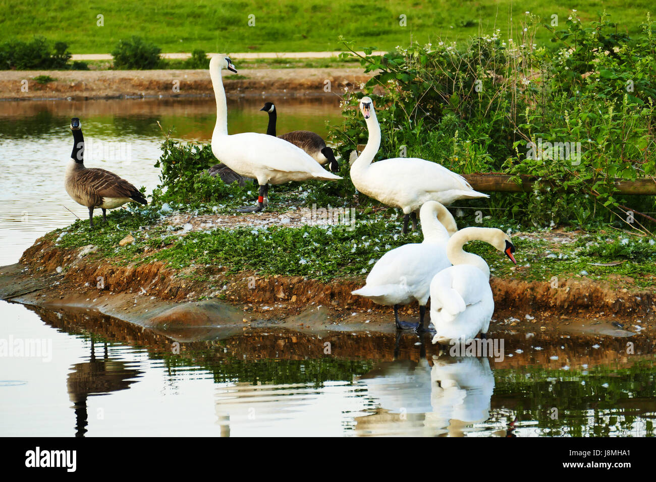 Swans and geese on an island in Jubilee pond Wanstead Flats, Forest Gate, London E7 Stock Photo